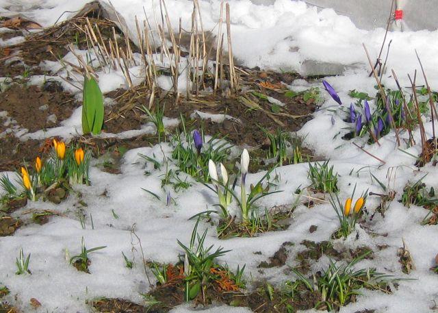 Крокусы март 16