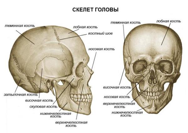 Фотография Скелет головы